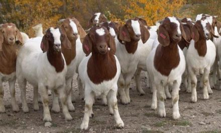 Starting Goat Farming Business in South Africa – Business Plan (PDF, Word & Excel)