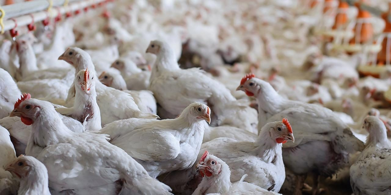 Starting Broiler Poultry Farming Business in South Africa