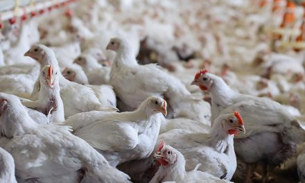 Starting Broiler Poultry Farming Business in South Africa – Business Plan (PDF, Word & Excel)