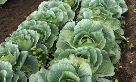 Starting Cabbage Farming Business in South Africa – Business Plan (PDF, Word & Excel)
