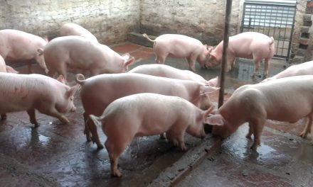 Starting Pig Farming Business in South Africa – Business Plan (PDF, Word & Excel)