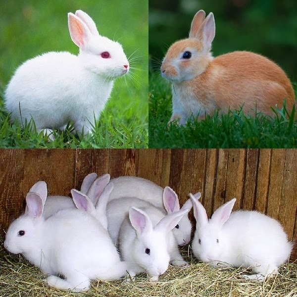 Starting Rabbit Farming Business in South Africa – Business Plan (PDF, Word & Excel)