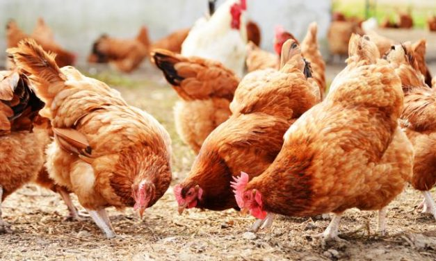 Starting Free Range Chicken Farming Business in South Africa – Business Plan (PDF, Word & Excel)