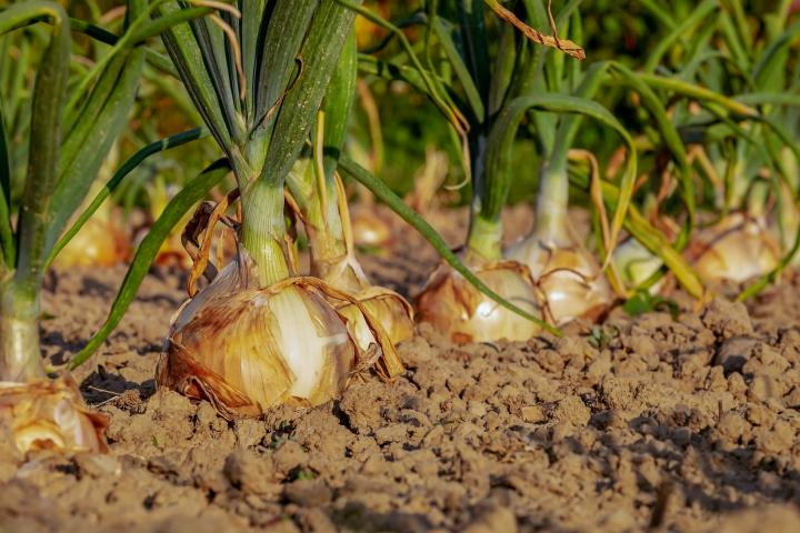 Starting Onion Farming Business in South Africa – Business Plan (PDF, Word & Excel)