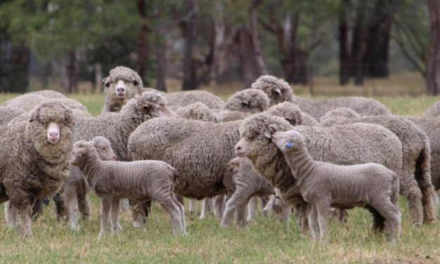 Starting Sheep Farming Business in South Africa – Business Plan (PDF, Word & Excel)