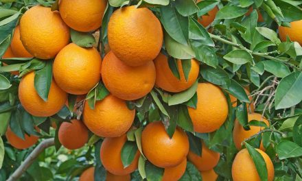 Starting Orange Farming Business In South Africa