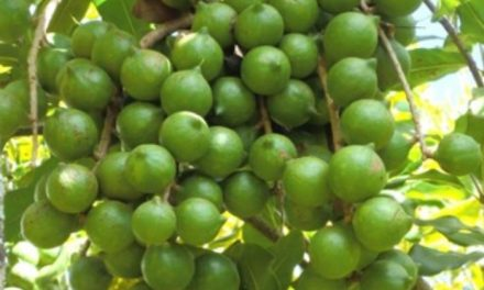 Starting Macadamia Nuts Farming Business in South Africa – Business Plan (PDF, Word & Excel)